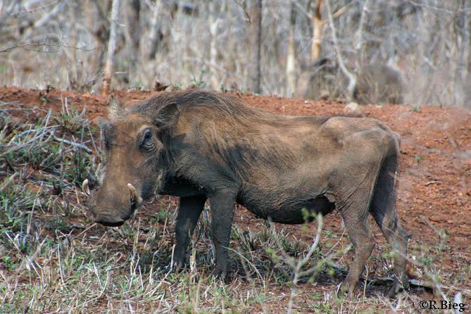 Warzenschwein - Phacochoerus africanus