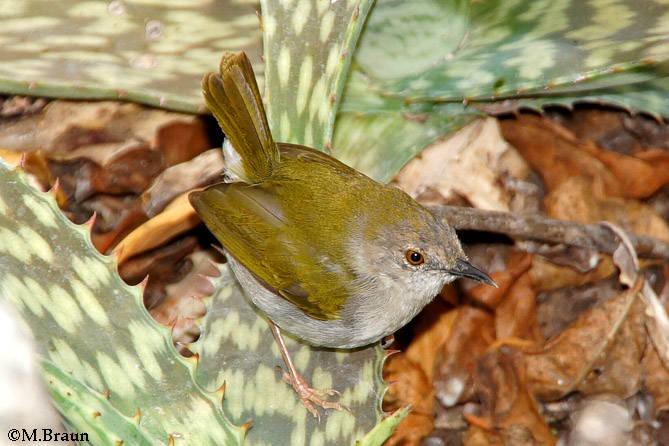 Grünmantel-Bogenflügel - Camaroptera brachyara