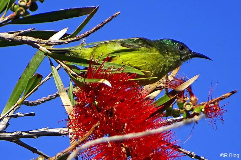 Waldnektarvogel - Hedydipna collaris, Weibchen