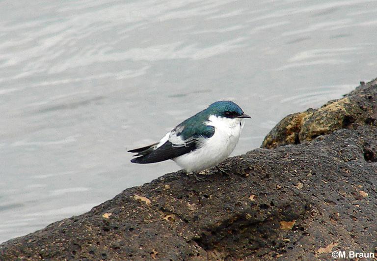 Cayenneseeschwalbe - Tachycineta albiventer