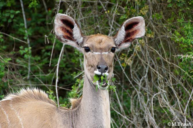 Kudu-Weibchen - Guten Appetit