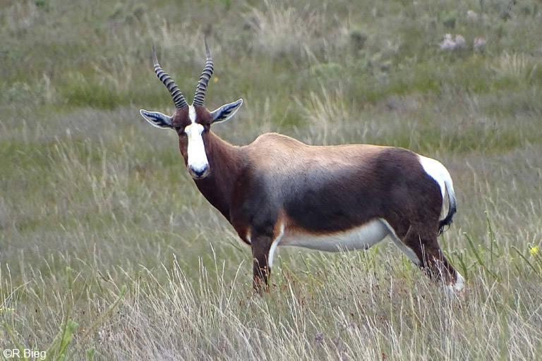Buntbock - nach ihm wurde der Nationalpark benannt