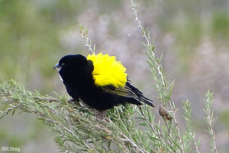 Samtwida - Euplectes capensis