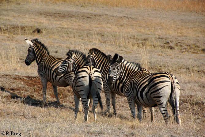 Burchell´s Zebra - Equus burchellii