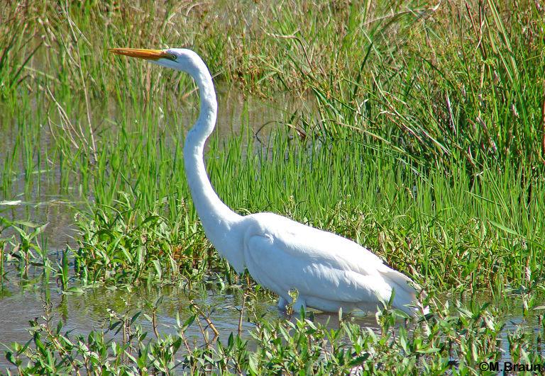 Ardea alba egretti - Silberreiher