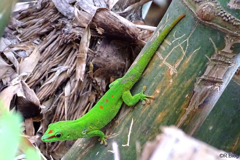 Madagaskar-Taggecko - Phelsuma madagascariensis