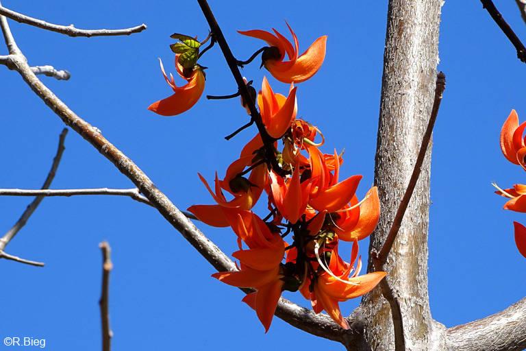 Korallenbaum - Erythrina sp.