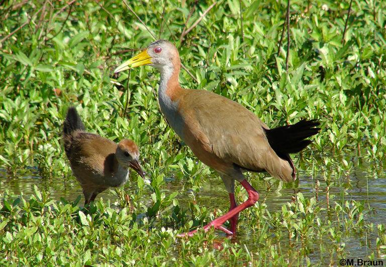 Aramides ypecaha - sie suchen ihre Nahrung, Kleintiere, im Flachwasser