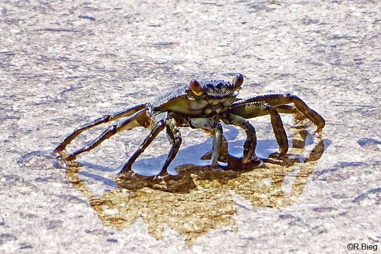 Krabbe unbest.