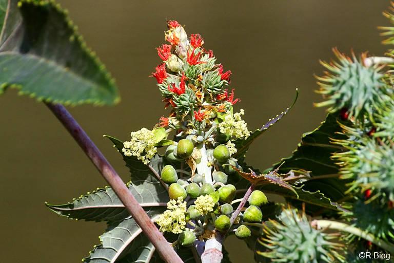 Rizinuspflanze, auch Wunderbaum genannt