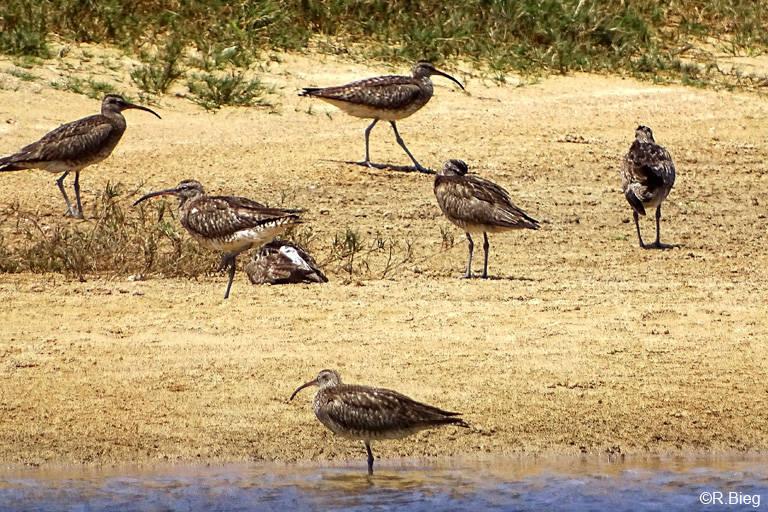 Bei Ebbe halten sich hier viele Regenbrachvögel auf - Numenius phaeopus