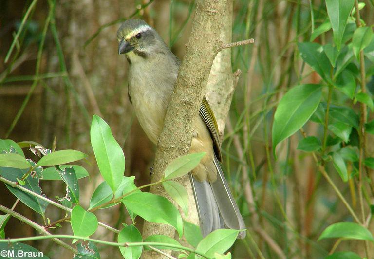Grünschwingensaltator - Saltator similis