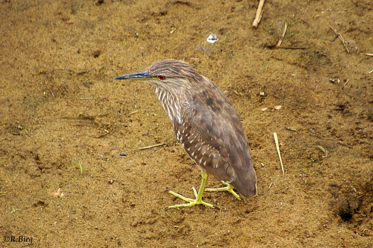 Mangrovereiher - Butorides striata, juvenil