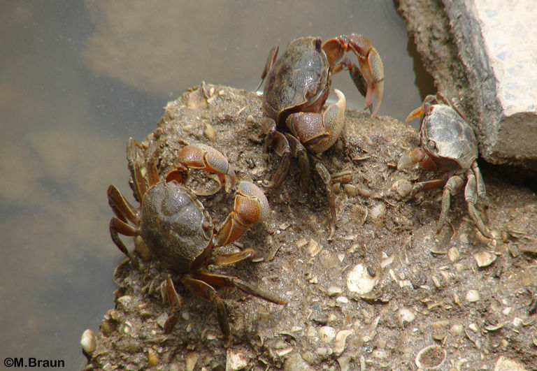 An den Wasserläufen leben unzählige Krabben