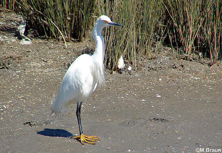 Egretta thula - man beachte die gelben Füße