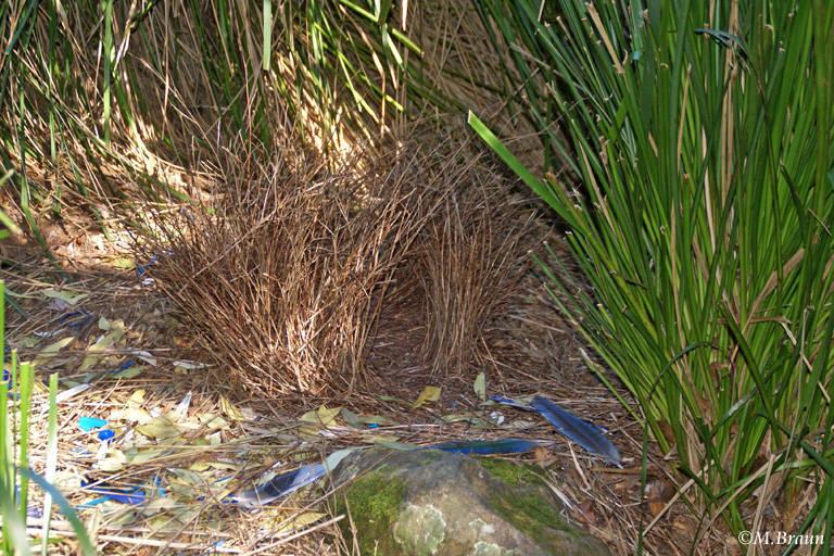 Die Laube wird zur Paarung gebaut und bevorzugt mit blauen Fundstücken dekoriert