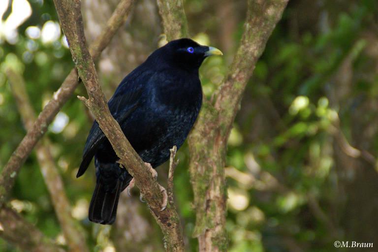 Seidenlaubenvogel, männl. - Ptilinorhynchus violaceus