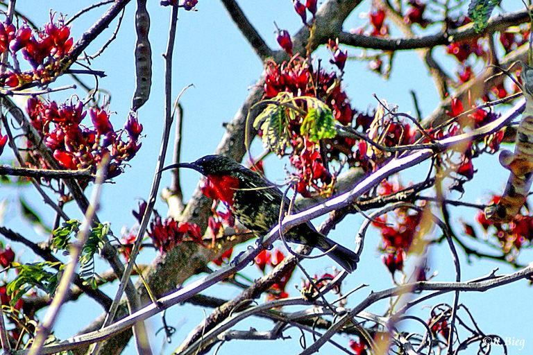 Rotbrust-Glanzköpfchen - Chalcomitra senegalensis