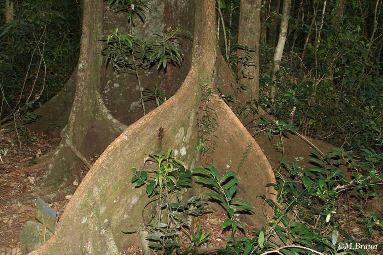 Viele Bäume haben enorme Brettwurzeln