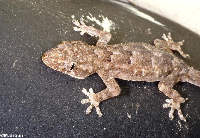 Gecko unbestimmt