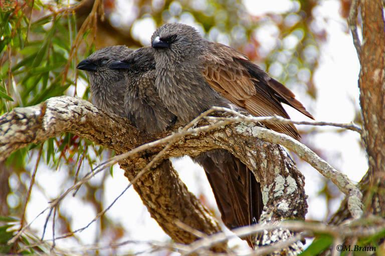 Gimpelhäher - sie leben sehr sozial in Gruppen