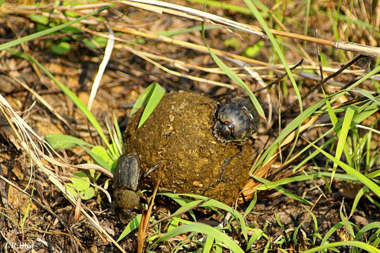 Pillendreher - unermüdlich rollen sie die Dungkugel zu ihrem Erdloch