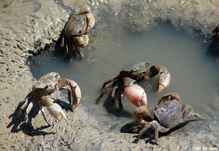 Krabben überall