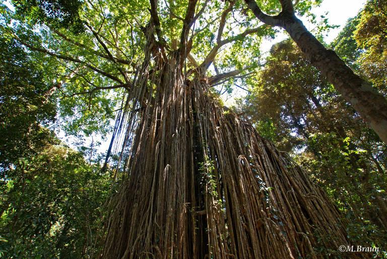 Der Curtain Fig Tree - eine große Würgefeige