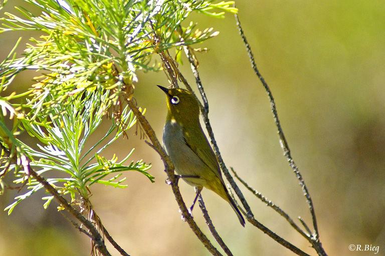 Oranjebrillenvogel - Zosterops virens