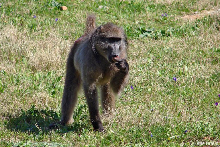 Bärenpavian am Straßenrand - Papio ursinus