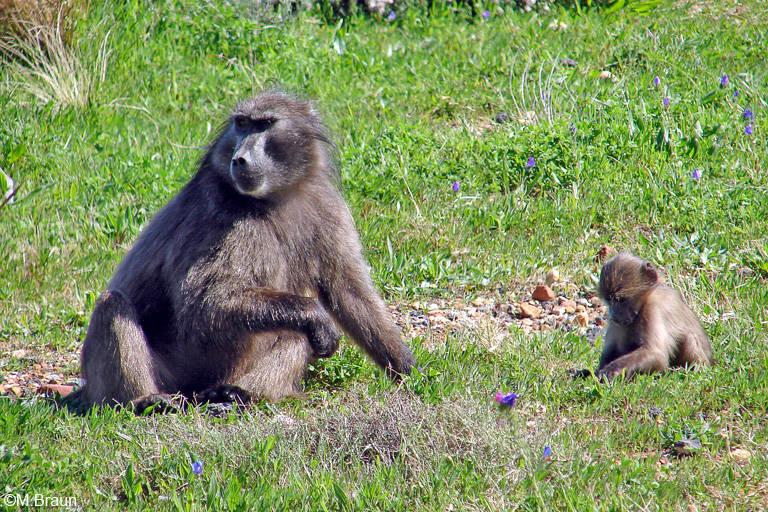 Bärenpaviane leben im südlichen Afrika und sind die größte Pavianart