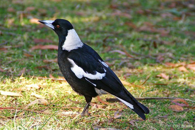 Flötenvogel - Gymnorhina tibicen