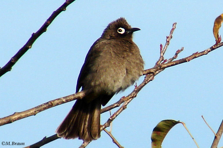Kapbülbül - Pycnonotus capensis