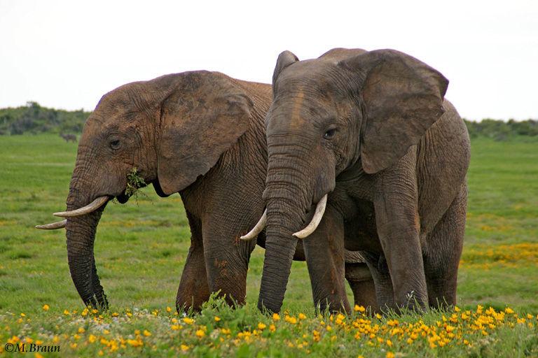 Elefanten sind Pflanzenfresser und vertilgen 100-200 kg Nahrung