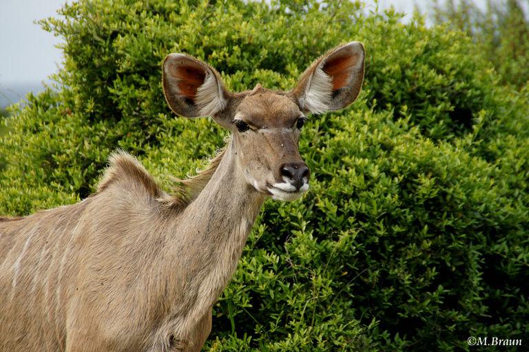 Grosser Kudu, weibl. - Tragelaphus strepsiceros