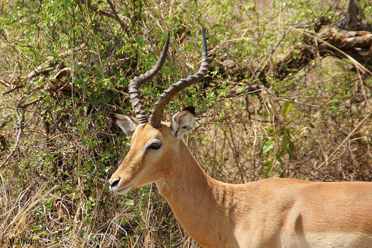 Impala - Aepyceros melampus melampus - sie können bis zu 9 Meter weit springen