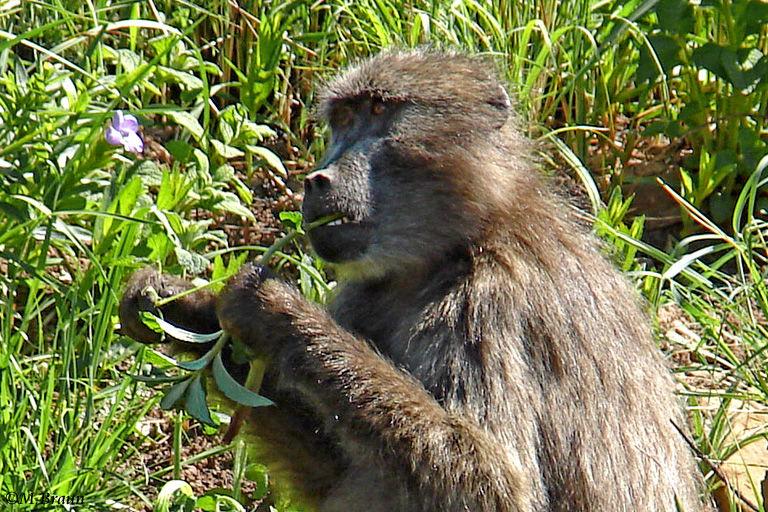 Der Chakma-Pavian wird auch Bärenpavian genannt
