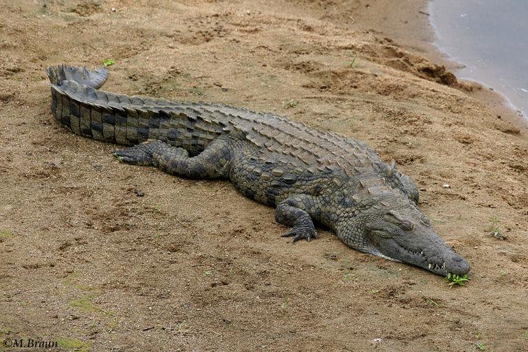 Nilkrokodile - Crocodylus niloticus
