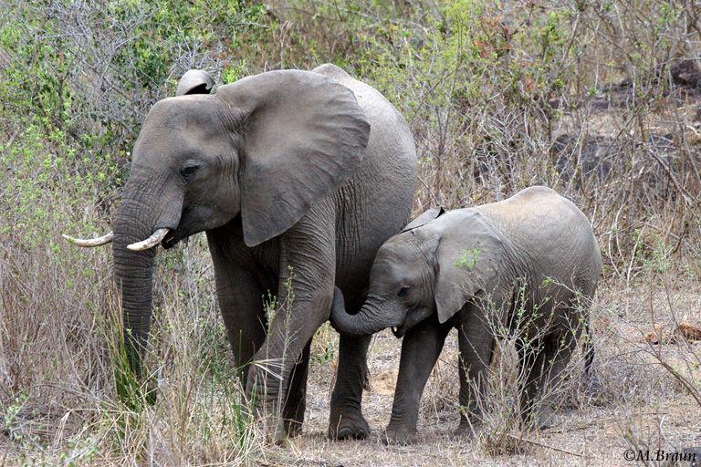 Afrikanischer Elefant - Loxodonta africana - in einem ausgetrockneten Flussbett unterwegs