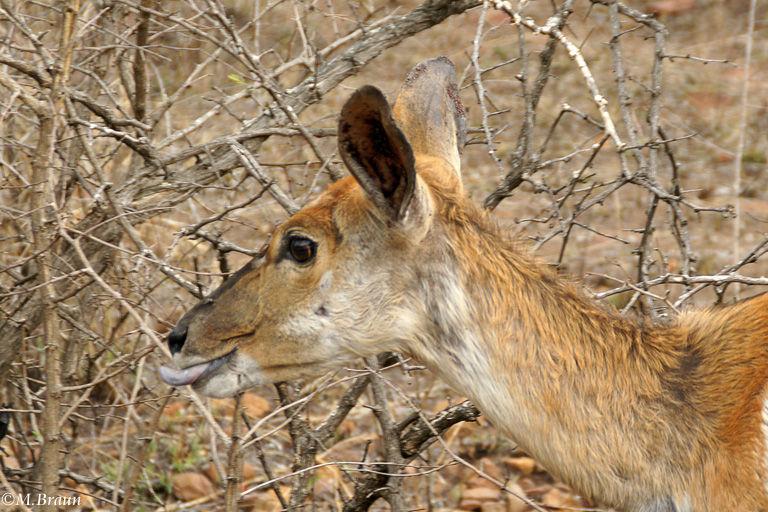 Tiefland-Nyala - Tragelaphus angasii - Nyalas ernähren sich überwiegend von Laub