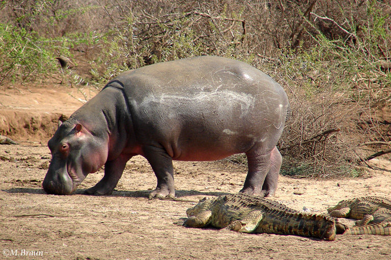 Hippopotamus amphibius - verbringen viel Zeit im Wasser und halten sich immer in Wassernähe auf