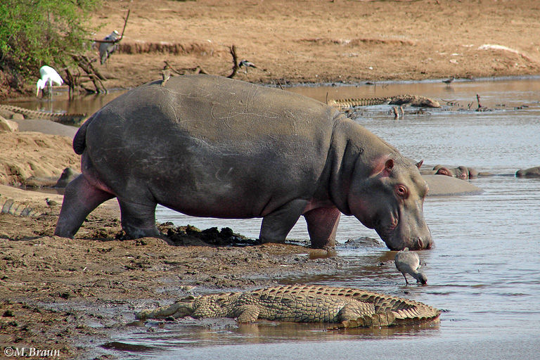 Flusspferd - Hippopotamus amphibius - Flusspferde kann man an der Sunset Wasserstelle sehen