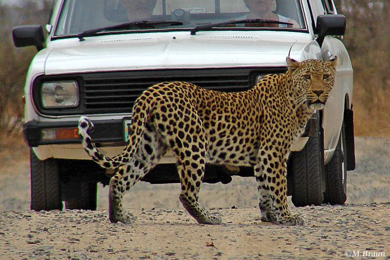 Leopard - Panthera pardus - so ein Glück hat man nicht so oft
