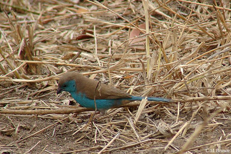 Blauastrild - Uraeginthus angolensis - er wird auch Angola-Schmetterlinksfink genannt