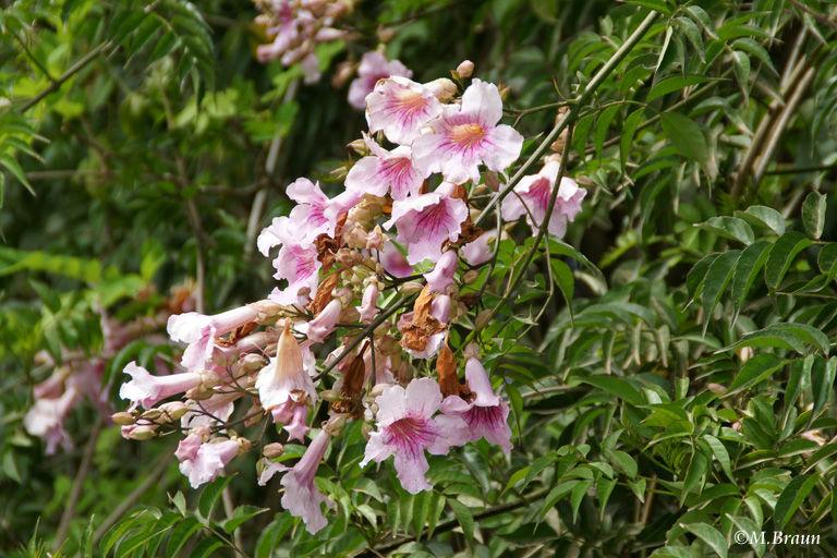 Bignonia - ein Trompetenbaumgewächs