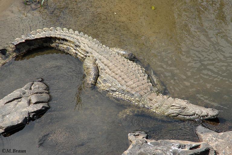 Nilkrokodile - Krokodile kann man am Crocodile River und an der Sunset Wasserstelle sehen