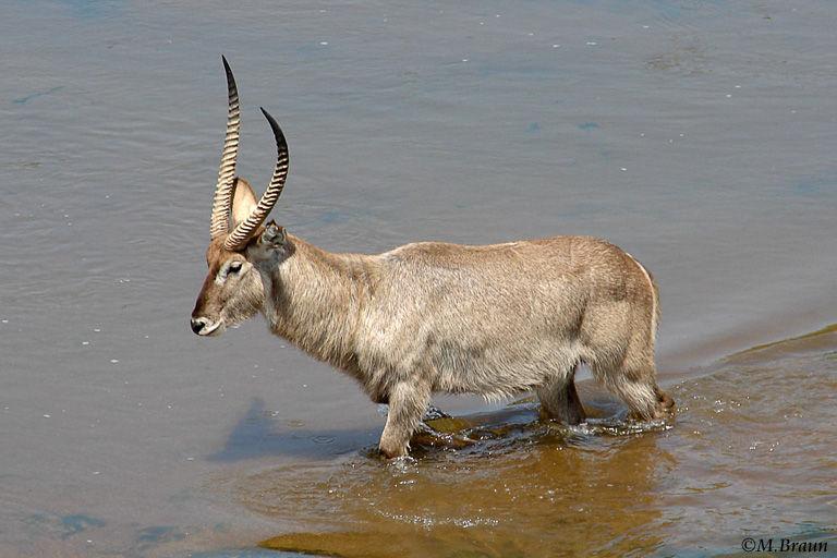Ellipsen-Wasserbock - er gehört zu den Antilopen und wird 250 kg schwer
