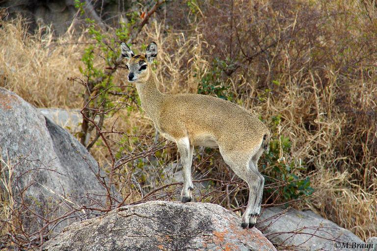 Klippspringer - Oreotragus oreotragus - angepaßt an felsigen Lebensraum