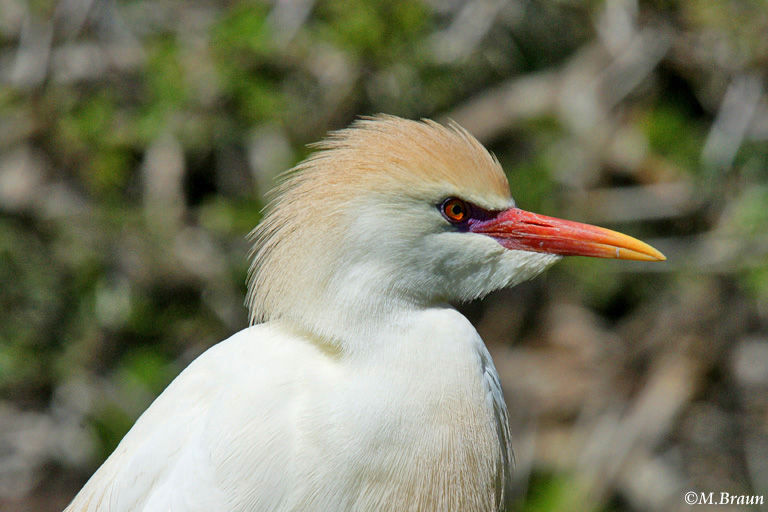 Bubulcus ibis - Kuhreiher