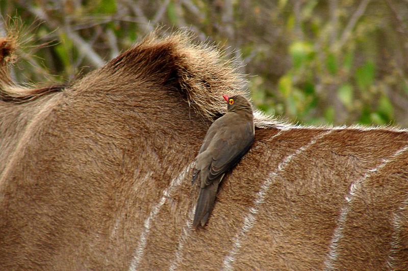 Rotschnabel-Madenhacker - Buphagus erythrorhynchus